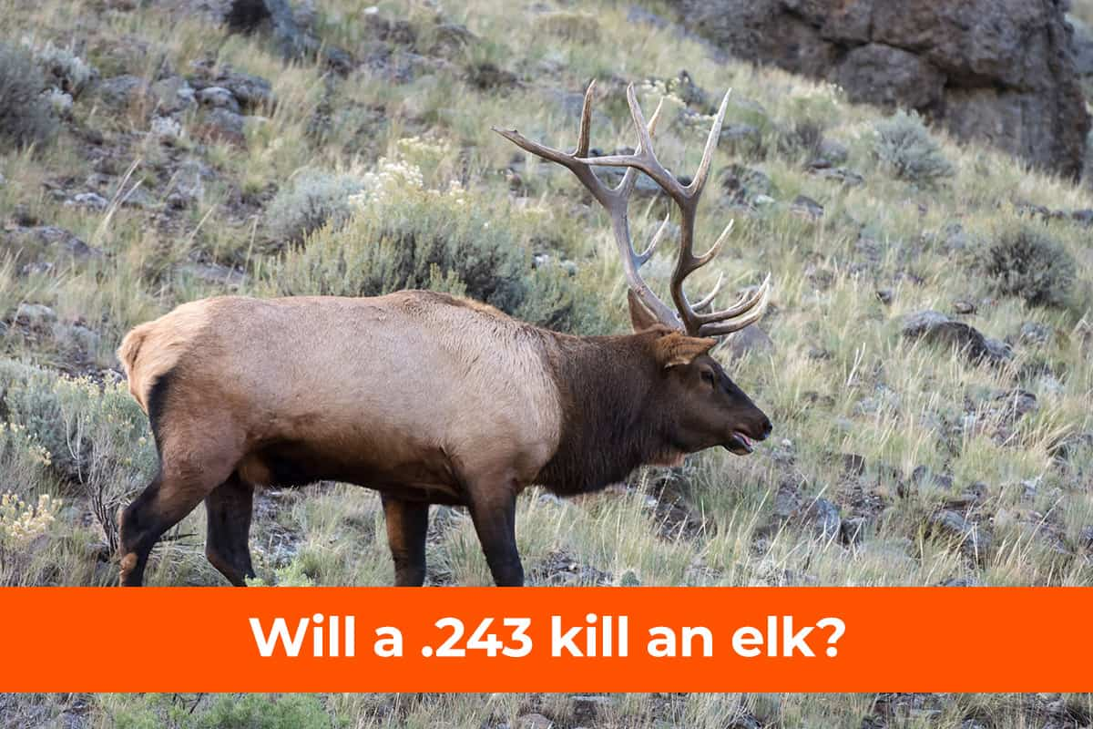 .243 for Elk
